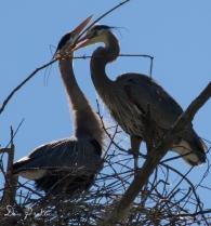 Herons at Rookery