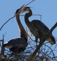 Herons at Rookery