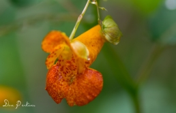 Spotted Touch-Me-Not (Orange Jewelweed)