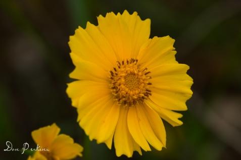 Helianthos (sunflower)