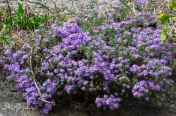 Asters on Palisade